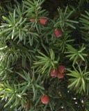 Ягоды Yew Стоковое фото RF
