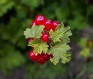 ягод redcurrant Стоковые Фото