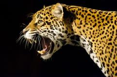 Ягуар реветь стоковое фото rf