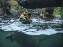 Ягуар в воде Стоковая Фотография