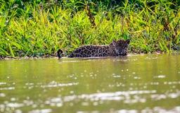 Ягуар в воде Стоковое Фото