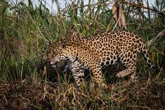 Ягуар в природе Стоковое Изображение