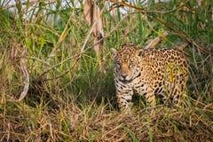 Ягуар в natue Стоковая Фотография RF