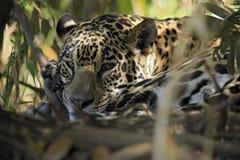 Ягуар лежа на том основании Стоковое Фото
