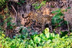Ягуар на движении Стоковое Изображение RF