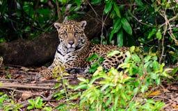 Ягуар на речном береге Стоковое Изображение RF
