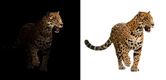Ягуар на черно-белой предпосылке Стоковая Фотография RF