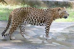 Ягуар - пантера в Индии Стоковые Изображения RF
