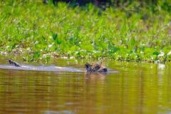 Ягуар, пантера Onca, женское, плавает через реку Cuiaba, Порту Jofre, Pantanal Matogrossense, Pantanal, Бразилию стоковое фото rf