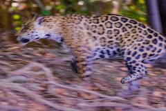 Ягуар, пантера Onca, скача на охоту, река Cuiaba, Порту Jofre, Pantanal Matogrossense, Mato Grosso, Бразилия стоковые изображения