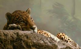 ягуар пятнистый Стоковые Изображения
