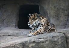 ягуар Стоковые Фото