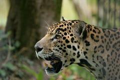 ягуар стоковое фото