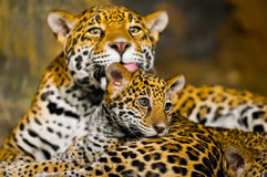 Ягуар Cubs Стоковое Фото