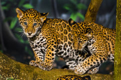 Ягуар Cubs Стоковые Изображения