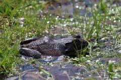 лягушка большая Стоковая Фотография RF