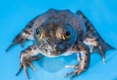 лягушка быка Стоковое фото RF