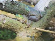 2 лягушка-быка Стоковое Фото