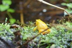 лягушка дротика золотистая Стоковые Изображения RF