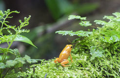 лягушка дротика золотистая Стоковые Фотографии RF