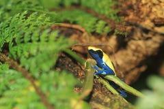 лягушка дротика крася Стоковое Изображение