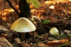 Ядовитая смерть гриба - крышка стоковое изображение