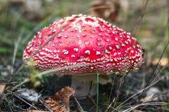 Ядовитые toadstools грибка грибов в фото селективном f макроса взгляд сверху леса пластинчатого гриба мухы гриба леса ярком красн Стоковые Фото