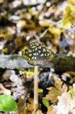 Ядовитый коричневый грибок в пятнах стоковые изображения