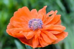 Ядр цветка красный мак с много тычинок стоковое изображение rf