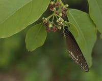 Ядр Euploea, общий sipping бабочки вороны стоковые фотографии rf