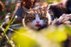 Язык красного длинного кота Очень яростный взгляд стоковое фото rf