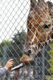 язык giraffe загородки длинний внешний Стоковое Фото