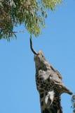 язык giraffe Стоковые Фотографии RF
