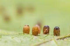 Яичка бабочки Стоковые Фото