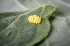 Яичка большой бабочки белой капусты Стоковое Изображение RF