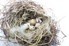 Яичка в гнезде птицы Стоковая Фотография
