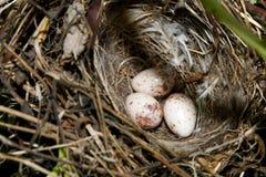 Яичка в гнезде птицы Стоковые Изображения RF
