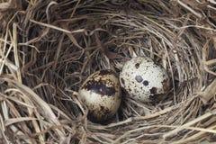 2 яичка в гнезде стоковые изображения rf