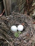 2 яичка в гнезде Стоковая Фотография