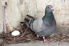 Яичка голубя насиживая фото Стоковое Изображение