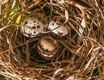 Яичка запятнанные триперстками в гнезде соломы Стоковое Изображение