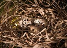 Яичка запятнанные триперстками в гнезде соломы Стоковые Изображения