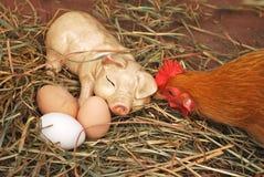 Яичка и курица керамической свиньи свежие Стоковые Изображения