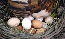 Яичка и яичко насиживая в курятнике фермы Стоковое Изображение RF