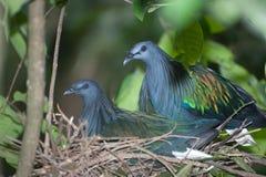 Яичка красочного голубя Nicobar насиживая в гнезде на дереве Стоковое Изображение RF