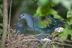 Яичка красочного голубя Nicobar насиживая в гнезде на дереве Стоковое Изображение