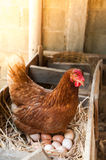 Яичка курицы матери насиживая в гнезде Стоковые Изображения RF