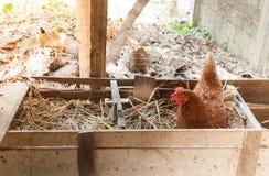 Яичка курицы матери насиживая в гнезде Стоковое фото RF