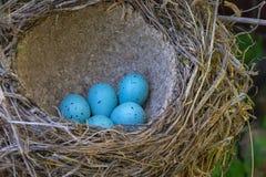 Яичка птицы в гнезде Стоковые Фото