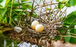 Яичка птицы на дереве Стоковая Фотография RF